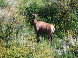 Rattlesnake ridge elk