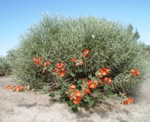 Globe mallow in bloom